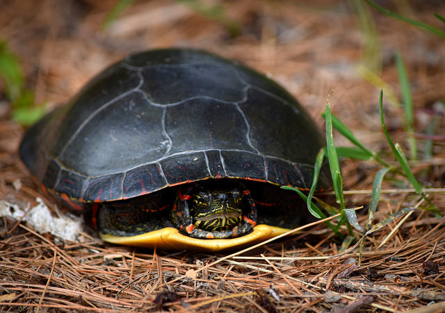 What is Pyramiding? Signs and Symptoms in your turtle